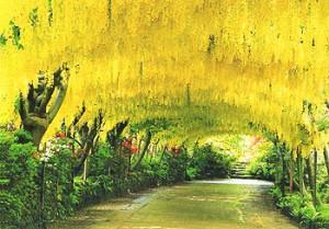 Bodnant Gardens - The Laburnum Arch