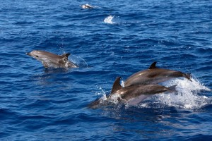 Dolphins swimming at sea
