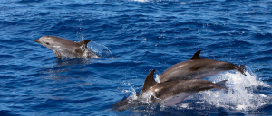 Dolphins-swimming-at-sea